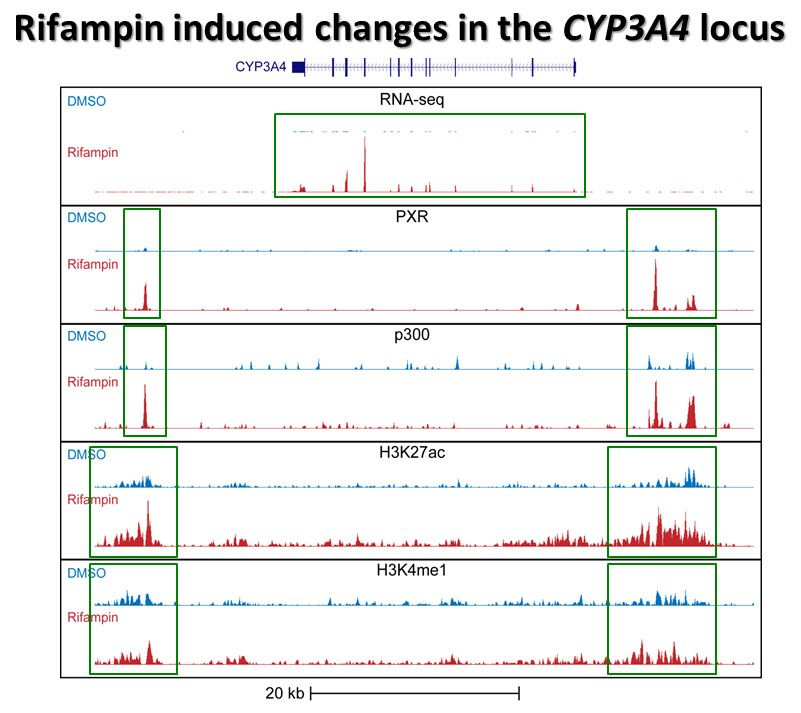 graph of rifampin-induced changes