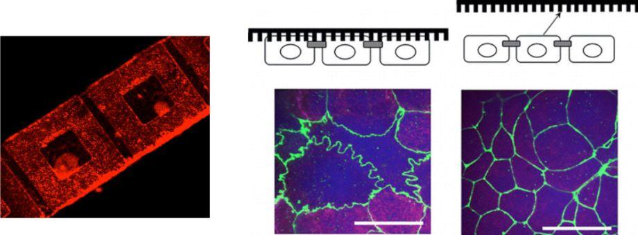 corneal tissue engineering diagram 2