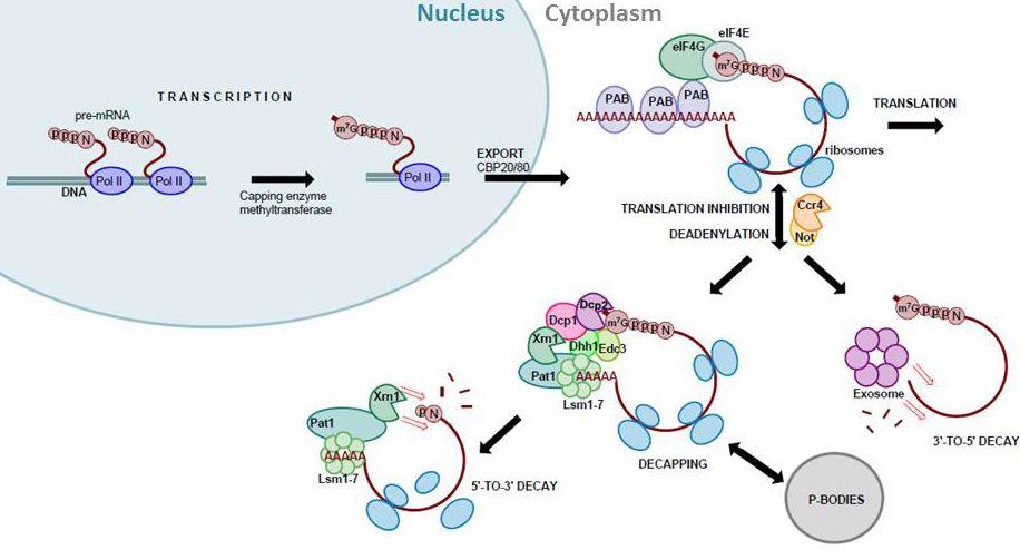 RNA Lifecycle