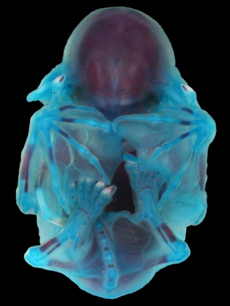 blue-stained bat embryo