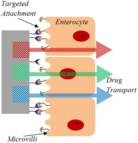 targeted attachment, enterocyte, microvilli, drug transport