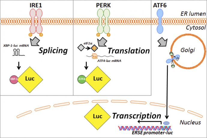 UPR diagram showing splicing, translation, and transcription